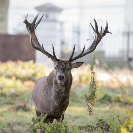 Photo pour Majestic red deer stag Cervus Elaphus in forest landscape during rut season in Autumn Fall - image libre de droit