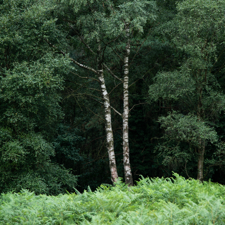 Lovely landscape image of single silver birch tree in lush green forest setting