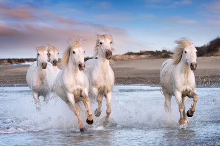 Photo pour White horses are galoping in the water  all over the sea in Camargue, France. - image libre de droit