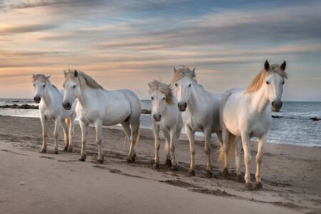 Photo pour Herd of white horses are taking time on the beach. Image taken in Camargue, France. - image libre de droit