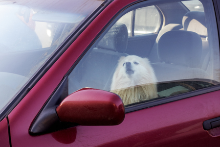 Photo pour The dog is closed in the car, danger to pets in summer - image libre de droit