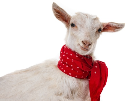 Photo pour funny goat isolated on a white background - image libre de droit