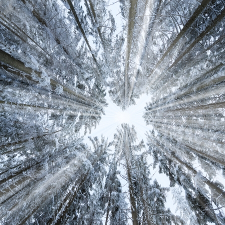 Looking Up Through A Snowy Winter Forest