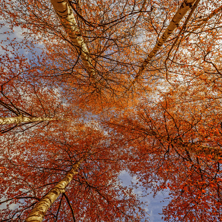Looking Through Autumn Birch Trees