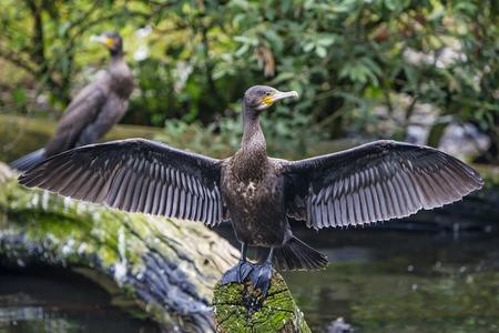 Great cormorant -  Phalacrocorax carbo