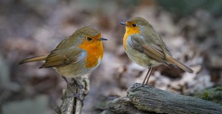 Photo pour Red Robin (Erithacus rubecula) birds close up in a forest - image libre de droit
