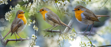 Photo for Red Robin (Erithacus rubecula) birds close up in the spring garden - Royalty Free Image