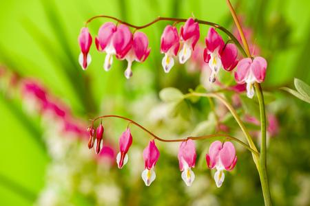 Photo pour garden flower - Lamprocapnos spectabilis - bleeding heart close up - image libre de droit