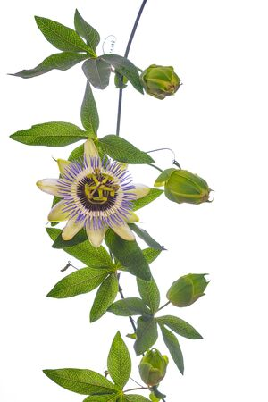 Photo pour Passion  flower - passiflora isolated on white background - image libre de droit