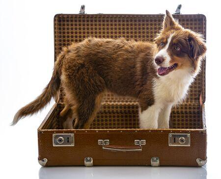 Photo pour cute australian shepherd dog in an old suitcase - image libre de droit