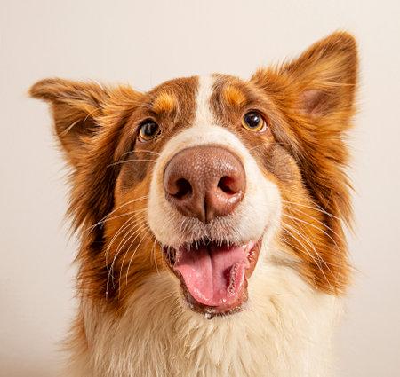 Photo pour funny Australian Shepherd dog photographed at home - image libre de droit