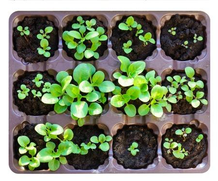 Photo pour Seedlings in the spring. Flower seedling. Sunflower seedlings. Isolated on white background - image libre de droit