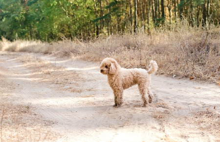 Toy poodle standing on the road in the woods. Walking the dog.