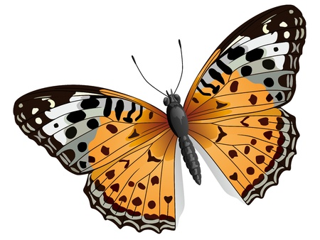 illustration of some orange butterfly(with orange, white, black wings) isolated on white.