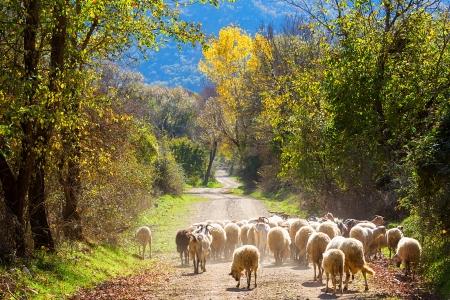 Photo pour Sheep traffic on the road between autumn trees - image libre de droit