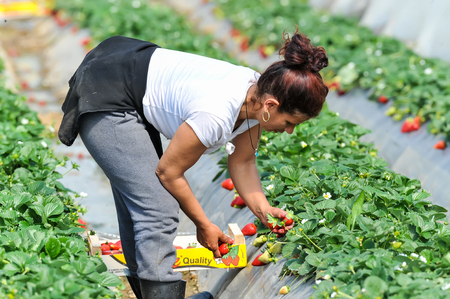 Photo pour Manolada, Ilia, Greece - March 3, 2016: Immigrant seasonal farm workers (men and women, old and young) pick and package strawberries directly into boxes in the Manolada  of southern Greece. - image libre de droit