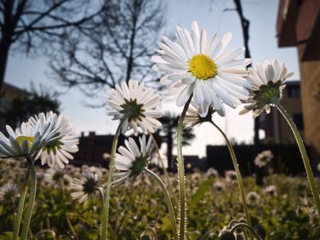 Daisies in an urban garden