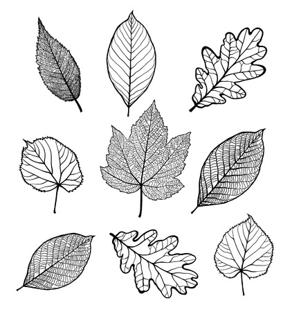 Set of Vector linden, oak, nut, plane tree, maple leaves , isolated on white background