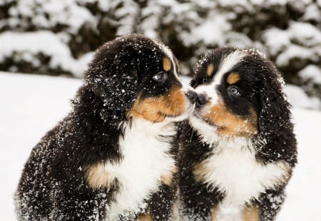 Snowy bernese mountain dog puppets sniff each othersの写真素材