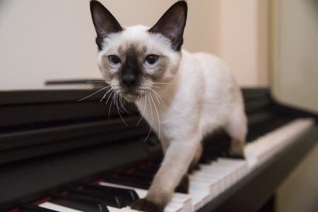 Siamese looking little cat struts with grace