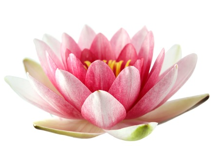 Foto de Lotus or water lily isolated on wite - Imagen libre de derechos
