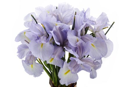 Photo for Light Blue Colored Iris Flower Isolated on White Background. - Royalty Free Image