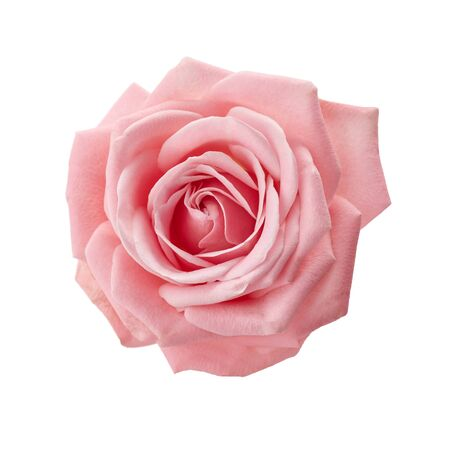Photo for Beautiful pink rose isolated on white background. Pink rose blossom. - Royalty Free Image