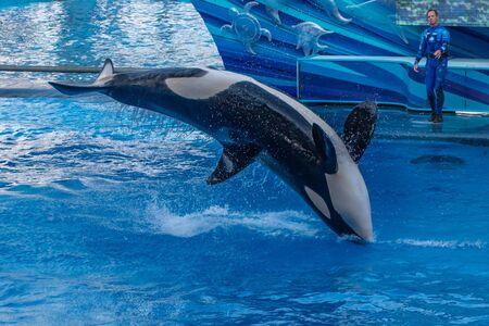 Orlando, Florida. September 30, 2019. Spectacular killer whale in One Ocean Show at Seaworld (5)