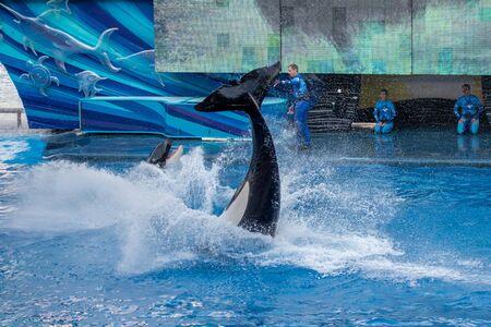 Orlando, Florida. September 30, 2019. Spectacular killer whale in One Ocean Show at Seaworld (14)