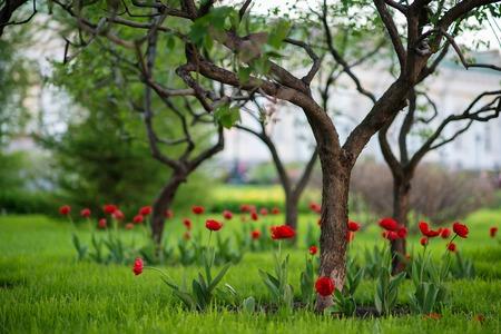 Photo pour Red tulips growing at garden - image libre de droit