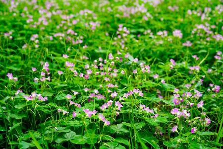 Oxalis corniculata L. flower