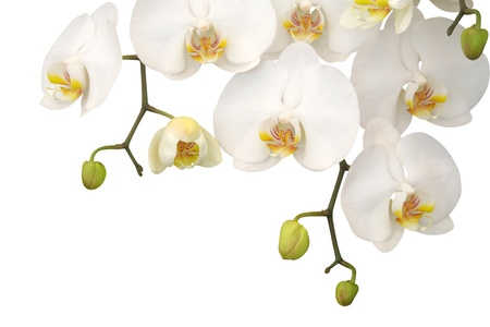 White orchid isolated on white background