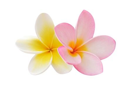 Two frangipani flowers