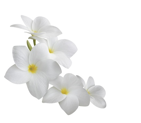 Photo pour Frangipani flower isolated on white - image libre de droit