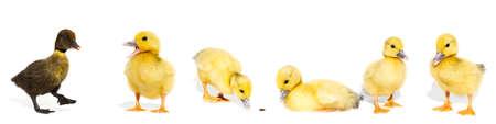 Foto de NewBorn little Cute yellow duckling isolated on white - Imagen libre de derechos