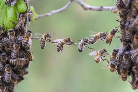 Bees making a bridge to unite two bee swarm parts in one. Image is a metaphor for business or community situations such as teamwork partnership cooperation company merger unity bridging the gap.