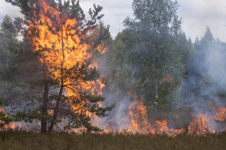 Pine crown in fire flames. Forest fire. Appropriate to visualize wildfires or prescribed burning.