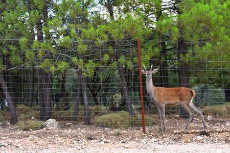 A deer looks nostalgically through a metal grille