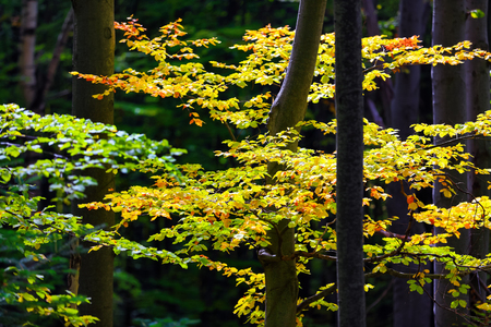 Trunks with branches covered by yellow, green, orange color leaves with the forest on background.  Sun rays on the trees.