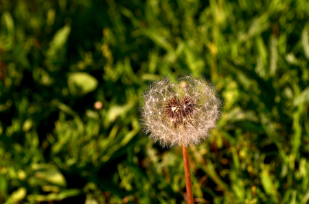 Dandelion. Plant with yellow flowers and seeds with fluffy hairs borne by the wind dandelion grows like a weed in large amounts.