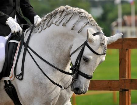 dressage pura raza espanola andalusian white horse