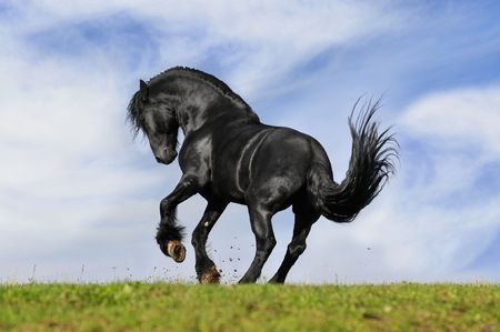 black horse play on the meadow