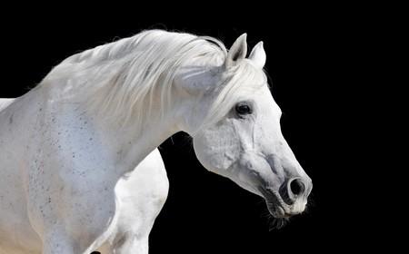 white arabian horse stallion portrait isolated on black