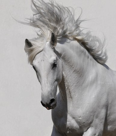white horse portrait on the gray background
