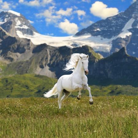 white horse run gallop in valley