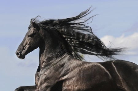 Portrait of moving friesian black horse stallion