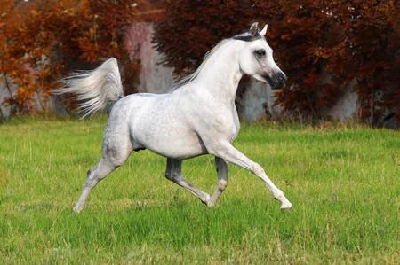 white arabian horse runs trot in autumn