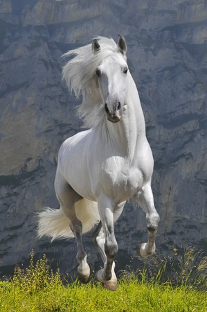white horse runs gallop in mountain
