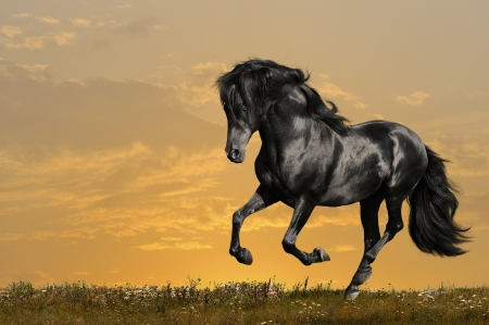 black horse runs gallop in sunset