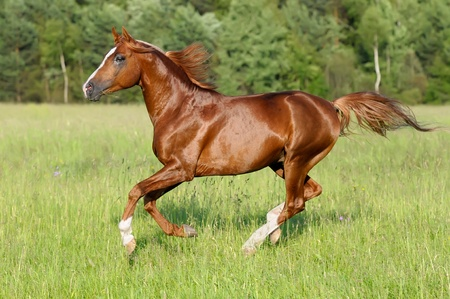 chestnut arabian horse stallion runs gallop on the meadow